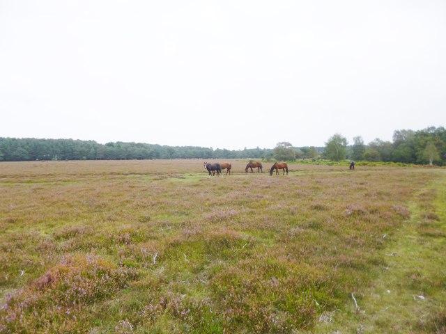 Hale Purlieu, ponies