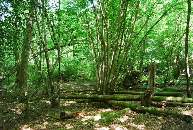 Coppicing, Salmon Wood
