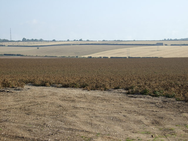Potato crop, East Field