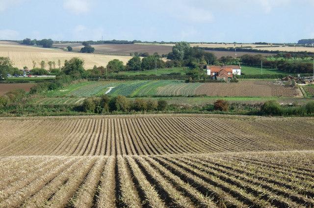 Potato crop, Wandale Farm