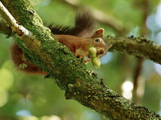 Red Squirrel at Forest How