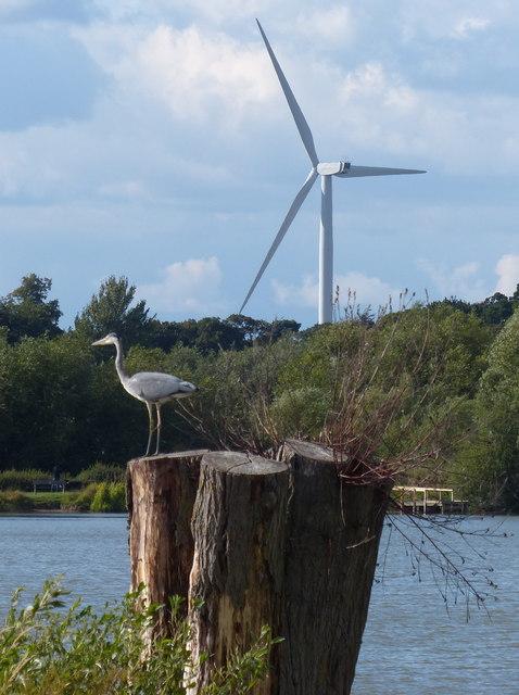 Grey heron at King Lear's Lake