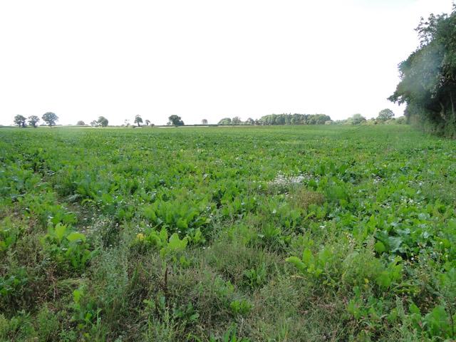 Sugar beet field near Stakebridge beck