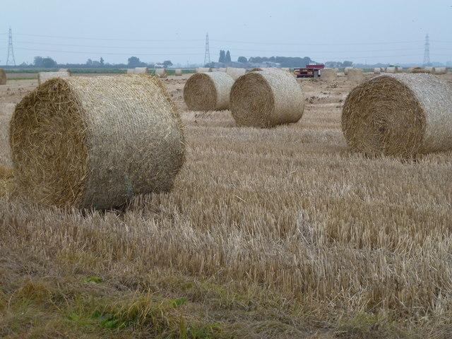 Rolls of straw on a stubble field