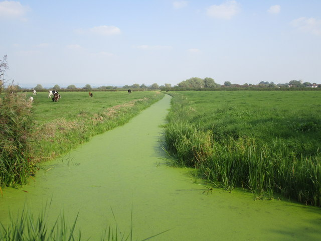 Duckweed covered rhyne