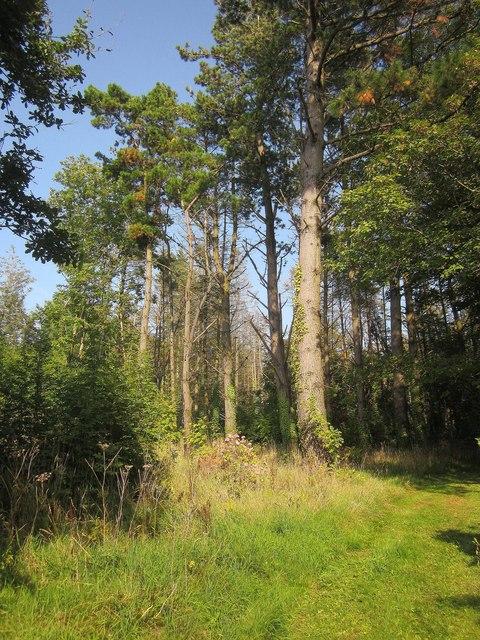 Pines near Widdicombe House