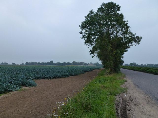 Cabbage crop near Quadring Eaudike