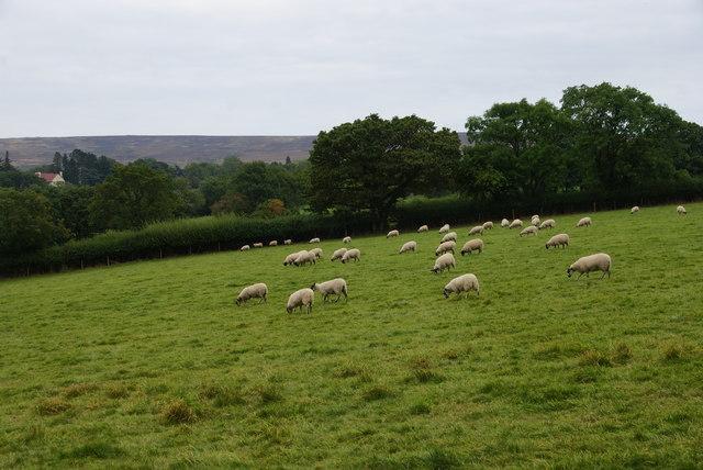 Sheep near Goathland