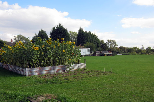 Captured Sunflowers in smallholding