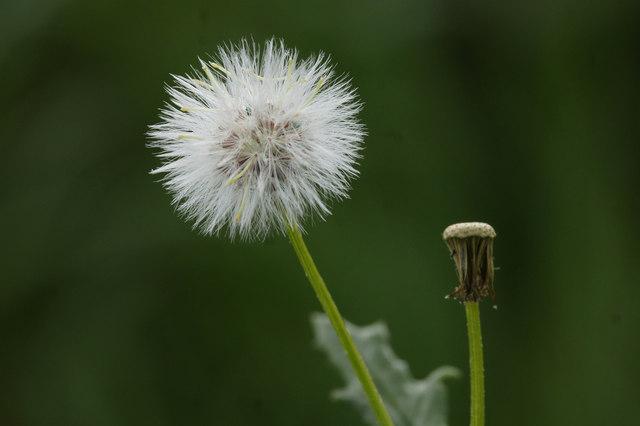 Seedhead of Groundsel (Senecio vulgaris), Baltasound