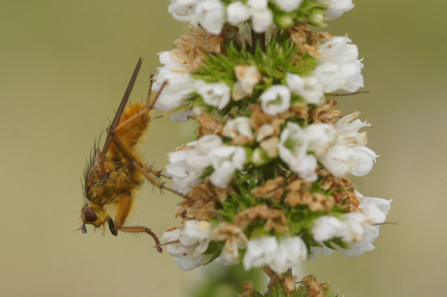 Yellow Dung Fly (Scatophaga stercoraria), Baltasound