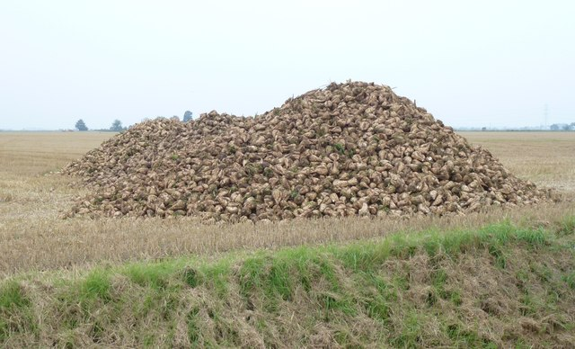 Freshly harvested sugar beet off Green Lane