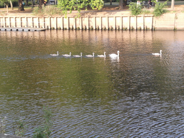 Swans on the Ouse, York