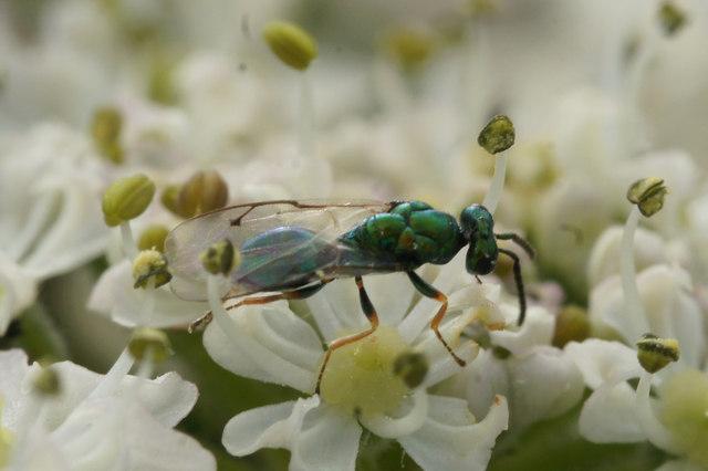 A chalcid wasp, Baltasound