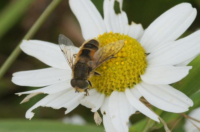 The hoverfly Eristalis arbustorum, Baltasound