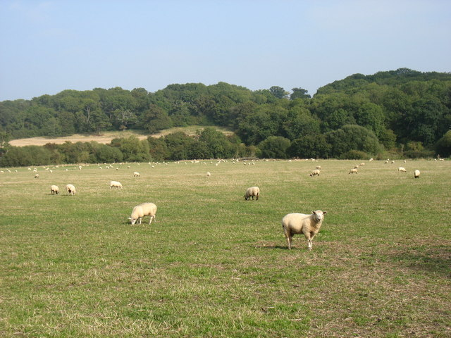 Sheep grazing south of Walton Hall