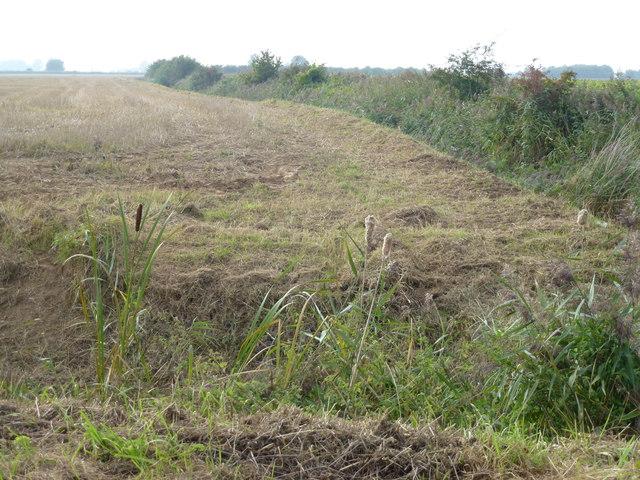 Bullrushes bursting open