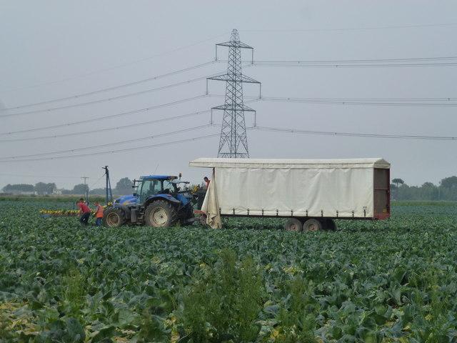 Harvesting cauliflowers on Gosberton Marsh