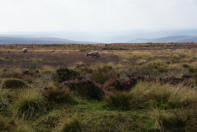Sheep on Urra Moor