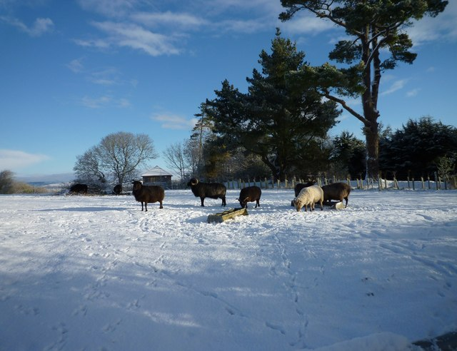 Winter feeding of sheep, Higher Eype