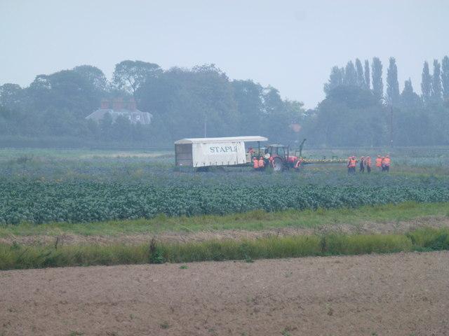 Harvesting cauliflowers near Wigtoft Marsh Farm