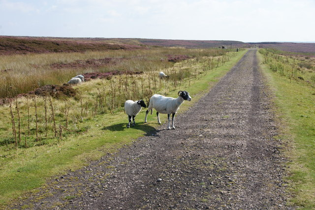 Sheep by the Rosedale railway