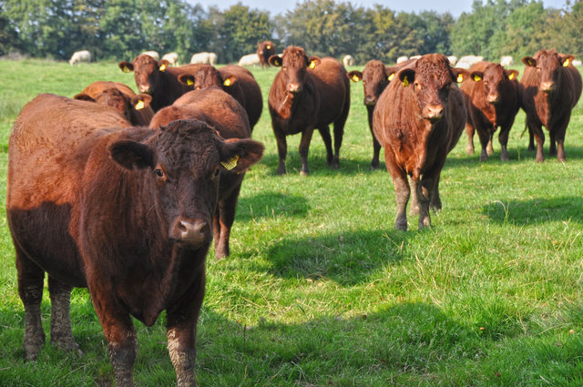 Mid Devon : Cattle Grazing