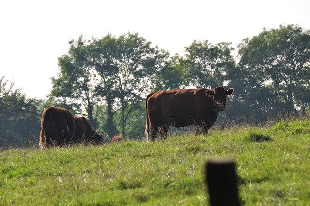 North Devon : Grassy Field & Cattle