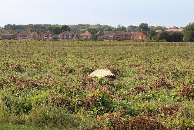 Crop field at Rushwick