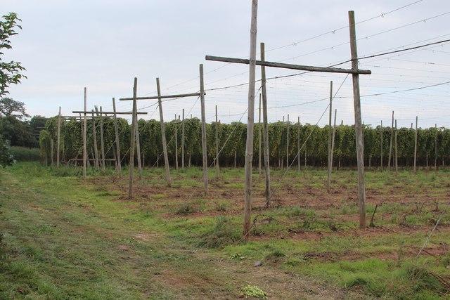 Hop fields at Burford Oaks