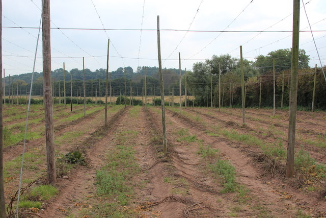 Hop fields at Burford Oaks