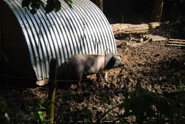 A pig in mud, Hever