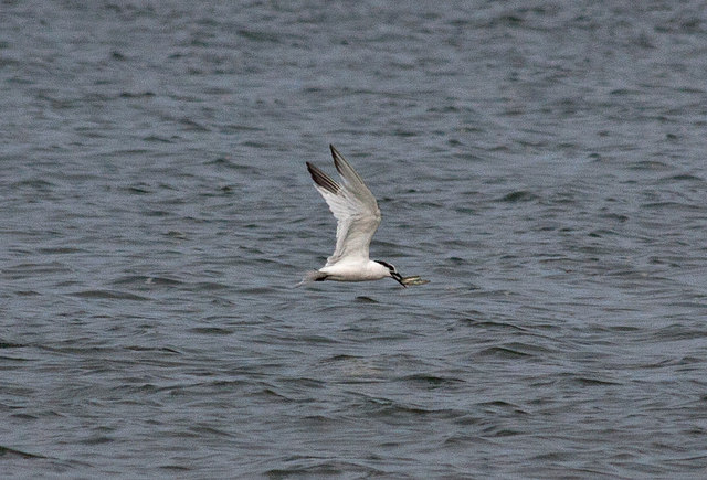 Tern with sandeel, Brancaster Bay