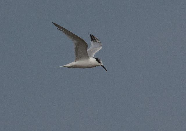 Sandwich tern, Brancaster Bay
