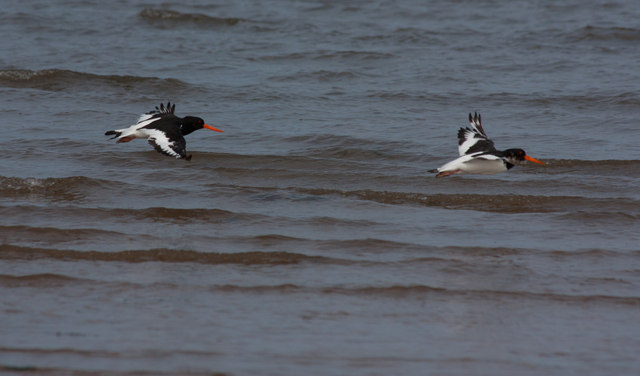 Pair of Oystercatchers, Brancaster Bay