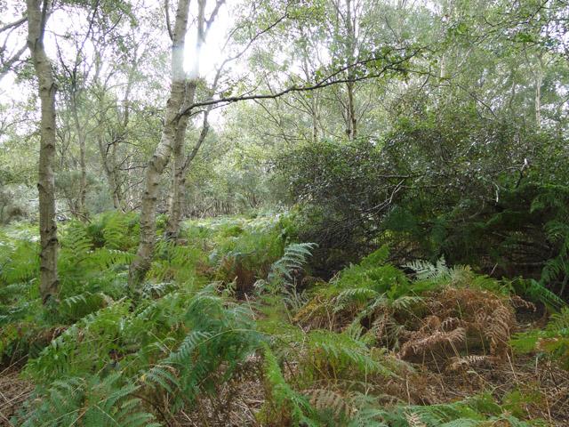 Bracken in woodland