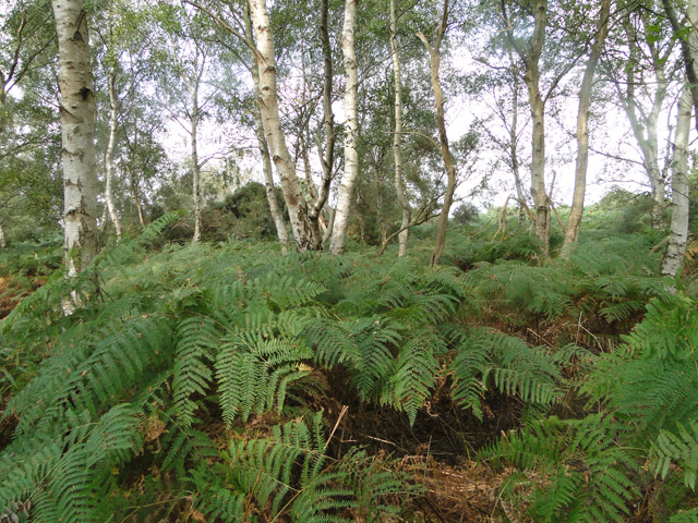 Bracken and silver birch trees