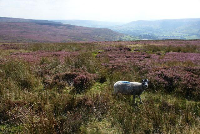 Sheep above Farndale