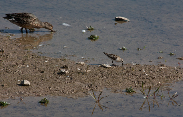 Little stint at Titchwell Marsh