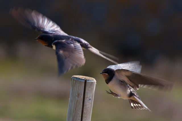 Swallows in dispute