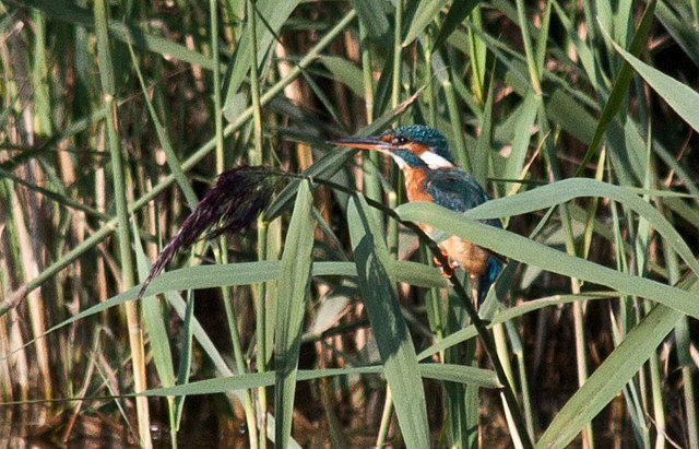 Female Kingfisher, Titchwell