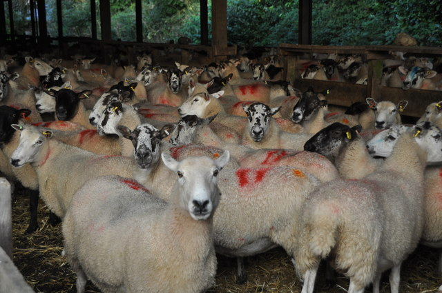 West Somerset : Riphay Barton Sheep