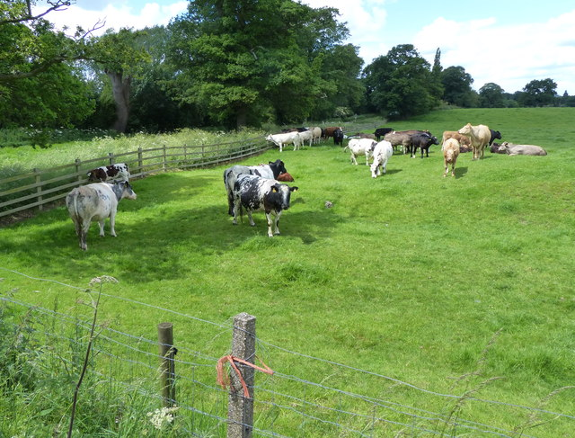 Cattle next to Gartree Road