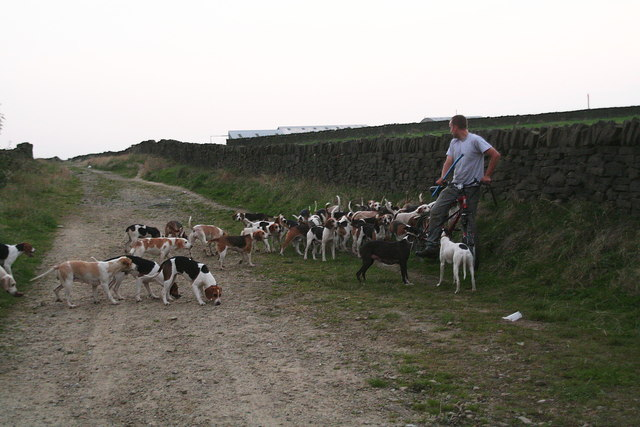 Hound exercise on the lane from South Crosland