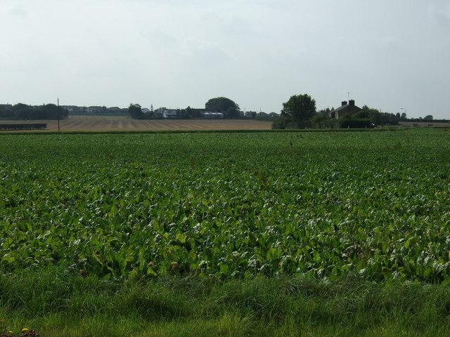 Crop field towards Back Lane