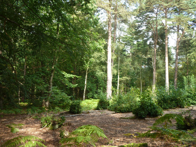 Small coppiced area, Chobham Place Wood