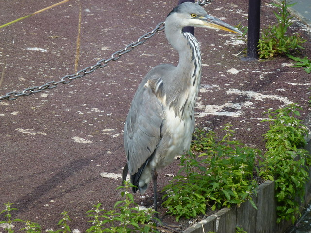 An angry looking Heron at Bluewater