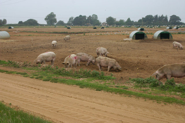 Pigs at Capel St Andrew farms, Butley