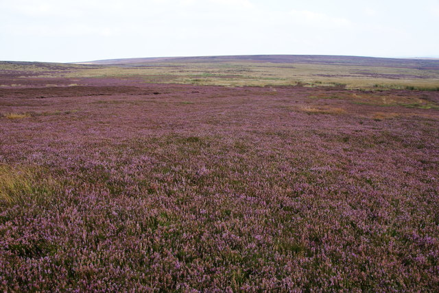 Heather moorland on Rosedale Moor