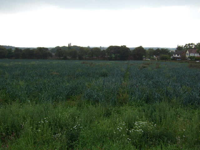 Crop field (leeks) off Higher Lane